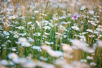 Meadow with oxeye daisies Leucanthemum vulgare, Ingolstadt, Bavaria, Germany, Europe