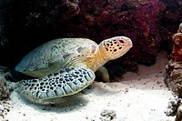 Green sea turtles - Chelonia mydas are very common around Pom Pom Island  The islands of the Celebes Sea are important nesting grounds for these marin...