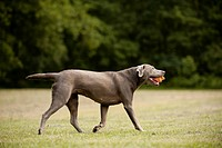 Labrador Retriever retrieving a ball