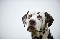 Dalmatian, portrait