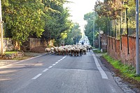 Sheeps on an urban road Rome Italy