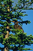 A Spruce Grouse resting in a fir tree