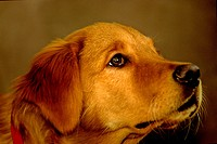 A close up portrait of a Golden Lab dog