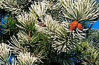 A close up o pine needles covered with frost.