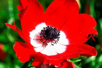 A red Anemone coronaria De Caen Group Mixed flower