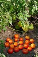 Tomatoes, organically grown  Scientific name: Solanum lycopersicum