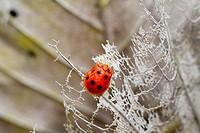 Ladybird, Borneo