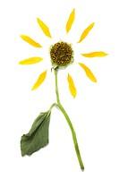 Close_up of a dead sunflower