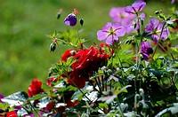 Roses and geranium