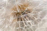 Detailed view of a blowball, seeds of a dandelion Taraxacum