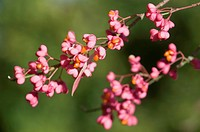 European Spindle (Euonymus europaeus), Haren, Emsland, Lower Saxony, Germany, Europe