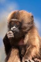 Baby Gelada baboon Theropithecus Gelada, Simien mountains national park, Amhara region, North Ethiopia