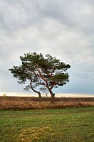 Lonely pine_tree