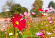 Red Cosmos flowers
