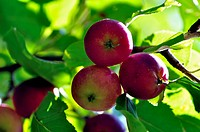 Apple tree. Diet, fresh and healthy