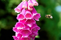 Pink bells and bumblebee