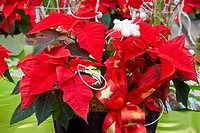 Garden center, poinsettia sale, Christmas Shopping.