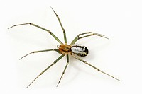 Neriene emphana Spider
