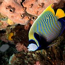 Underwater View of Emperor Angelfish, Indonesia