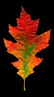A red and green leaf from an oak Quercus sp. on a black background.