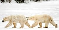 Polar Bear, Ursus Maritimus, Churchill, Manitoba, Canada