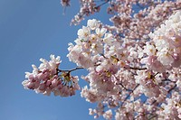 Close up of Japanese Cherry Tree blossoms in High Park, Toronto, Ontario _ the oldest of the cherry trees were given to Toronto by the Japanese Ambasa...