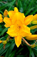 Yellow beautiful lily with natural background.