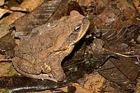 Cane Toad, Bufo marinus, Rio Napo, Amazon Basin, Ecuador