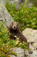 Vancouver Island Marmot, Marmota Vancouverensis, Vancouver Island, BC, Canada