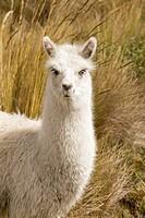 Llama, Lama glama, Highlands, Ecuador