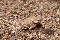 Round_tailed horned Lizard, Phrynosoma modestum, Arizona, USA