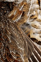 Ruffed grouse Bonasa umbellus Feather detail in a dead specimen, Greater Sudbury Lively, Ontario, Canada
