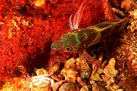 Saddled Blenny, Malacoctenus triangulatus.