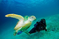 A diver films a green sea turtle Chelonia mydas swimming off of Dimakya Island in the Phillippines.