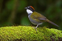 Chestnut_capped Brush_Finch  Atlapetes brunneinucha perched on a branch in Costa Rica