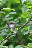 Eastern Phoebe, Sayornis phoebe, perched on a branch in Eastern Ontario, Canada.