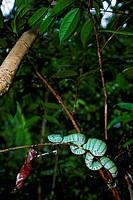 A Wagler´s pit_viper, Tropidolaemus wagleri, or Trimeresurus wagleri, in a tree, at Maliau Basin, Sabah, Borneo, East Malaysia.