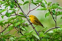 Male Yellow Warbler Dendroica petechia. A common warbler found throughout North America. Spring.