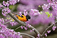 Northern Oriole Icterus galbula male in breeding plumage rests in spring Redbud tree. Lake Erie. Great Lakes. North America.