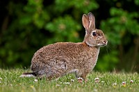 European rabbit / common rabbit Oryctolagus cuniculus sitting in meadow