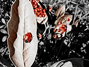 Huge Clump of Ladybugs Roam and Mate in the Forests