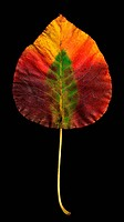 An ornamental pear genus Pyrus leaf in yellow and dark red and green on a black background.