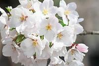 cherry blossom in Kakunodate