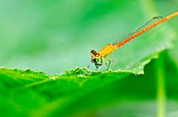 red damselfly or little dragonfly