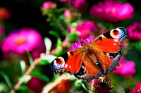 Butterfly with eyes on winds on pink flowers