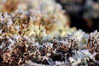 Ice Crystals on Reindeer Lichen Cladonia