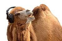 Kamel mit Kopfhörer singt leidenschaftlich