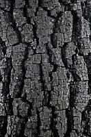 Tree Bark, Close_up 4