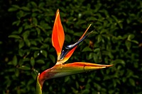 bird of paradise, flower, plant,
