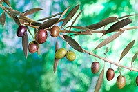 Olives variety 'Picual' Andalucia Spain